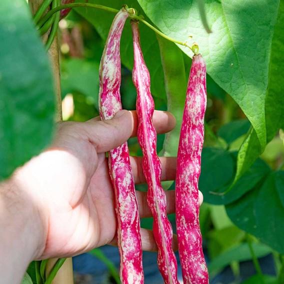 Climbing French Bean Seeds - Borlotti 'Stokkievitsboon'