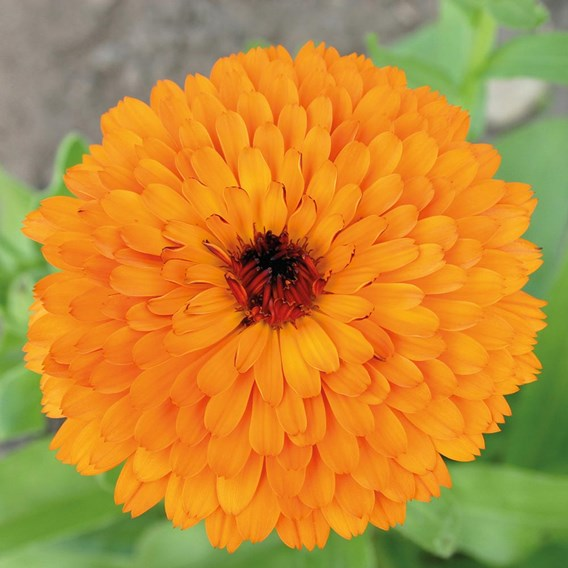 Calendula Touch Of Red