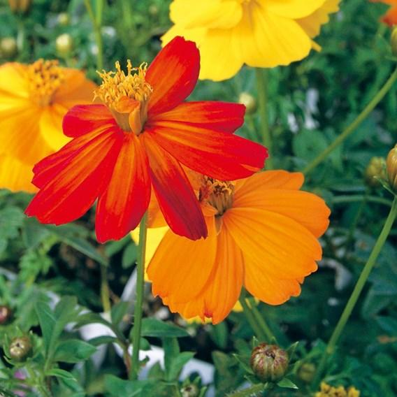 Cosmos Ladybird Mixed