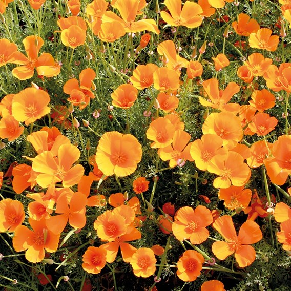 Poppy (Eschscholzia) - Mission Bells