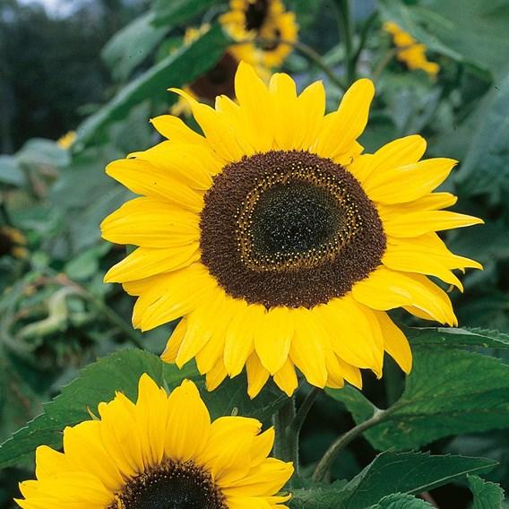 Sunflower Tall Single