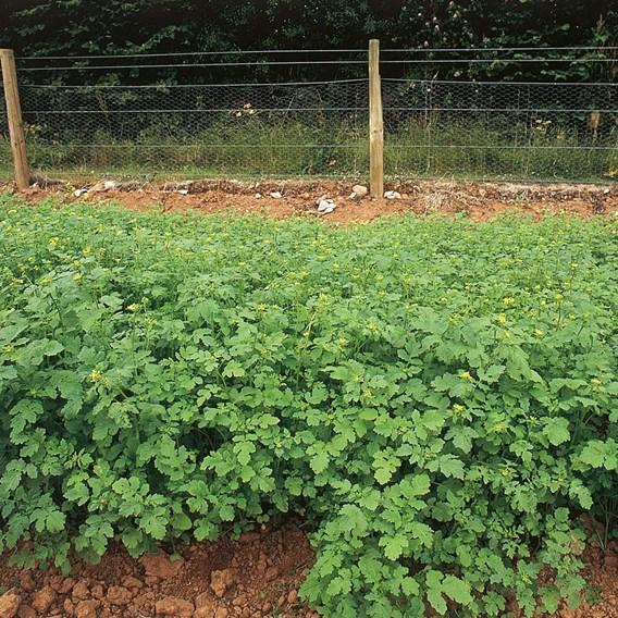 Green Manure - Alfalfa (Lucerne) 112G (45 Sqm)