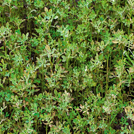 Green Manure - Fenugreek 112G (25 Sqm)
