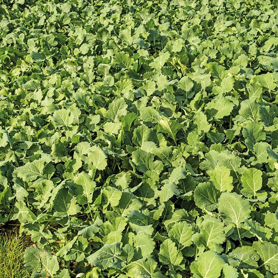 Green Manure - Fodder Radish 112G (20 Sqm)