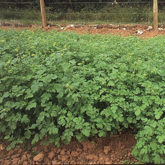 Green Manure - Mustard 225G (45 Sqm)