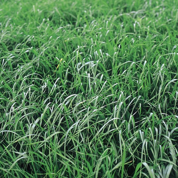 Green Manure - Persian Clover 112G (45 Sqm)
