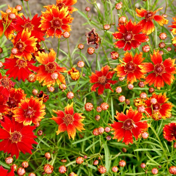 Coreopsis Seeds - Mahogany Midget