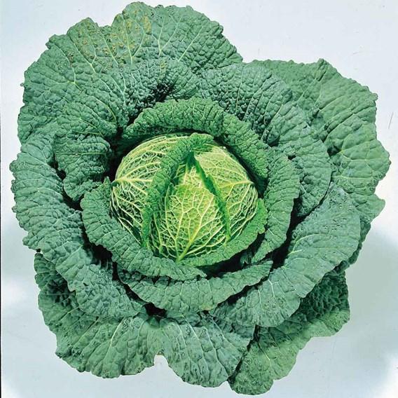 Cabbage(Savoy) Vertus (10) Organic