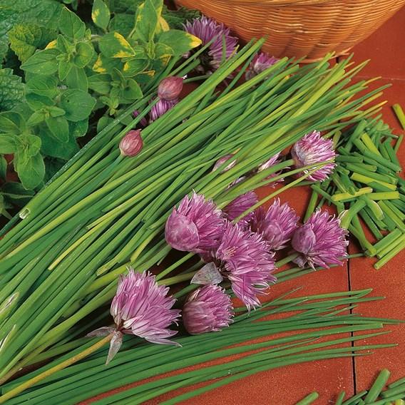 Chives plants  (3) P9's