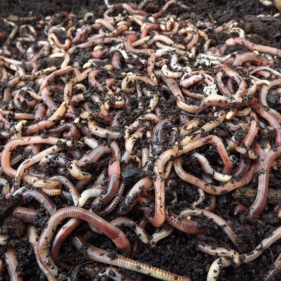 Brandling Worms for Compost (250)