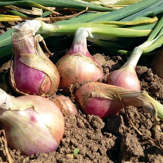 Onion Set Keravel Pink