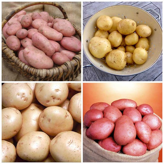 Potato Collection Blight Resisters Collection 4Kg