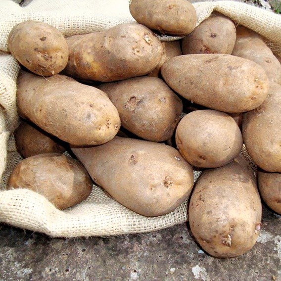 Potato Seed Organic Golden Wonder 1kg