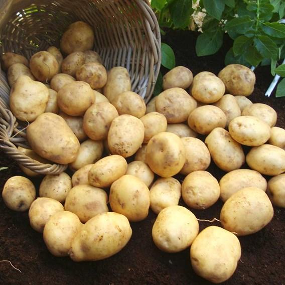 Potato Seed Organic Sante 1kg