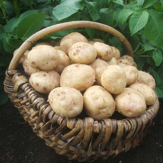 Potato Seed Organic Record 1kg