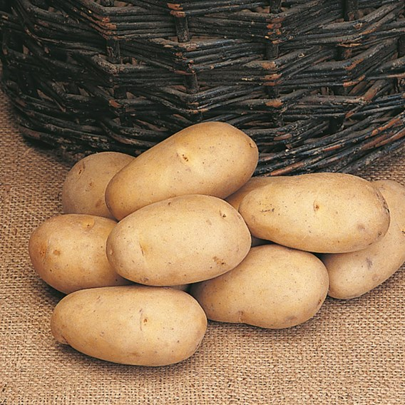 Potato Seed Organic Maris Piper 1kg