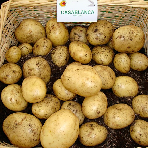Seed Potatoes Organic Casablanca 1kg