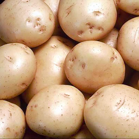 Seed Potatoes Organic Colleen 1kg