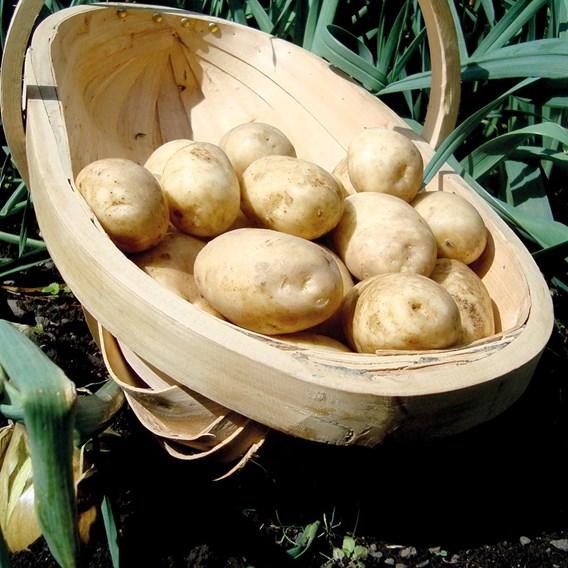 Seed Potatoes Organic Maris Bard 1kg