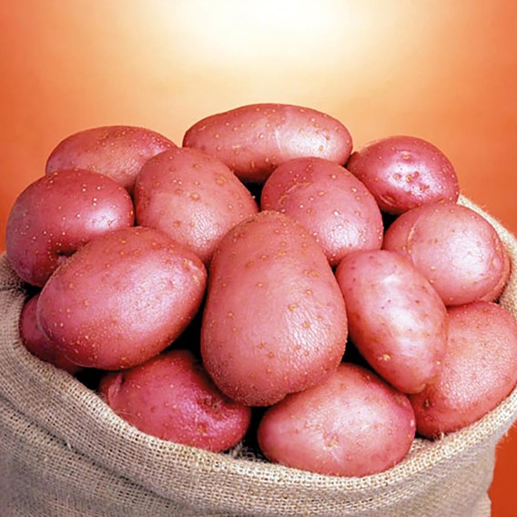 Seed Potato Organic Setenta 1kg