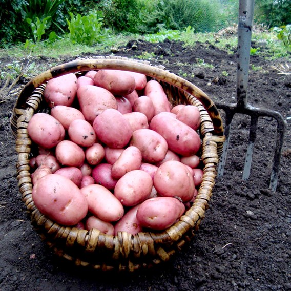 Seed Potato Rooster 1kg