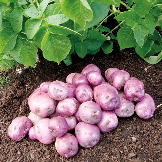 Seed Potato Organic Arran Victory 1kg