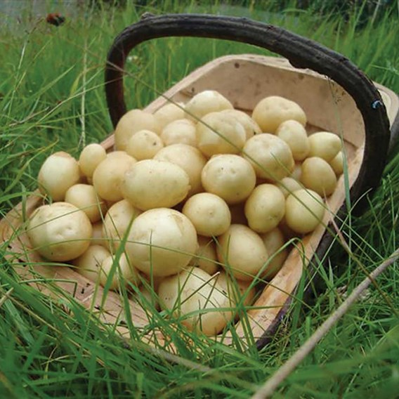 Seed Potato Organic Maris Peer 1Kg