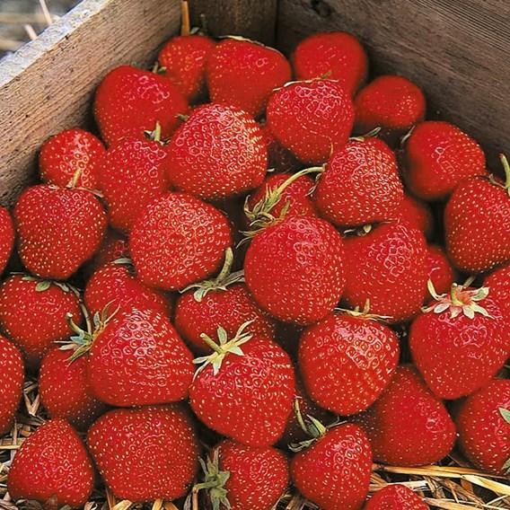Strawberry Plants Cambridge Favourite
