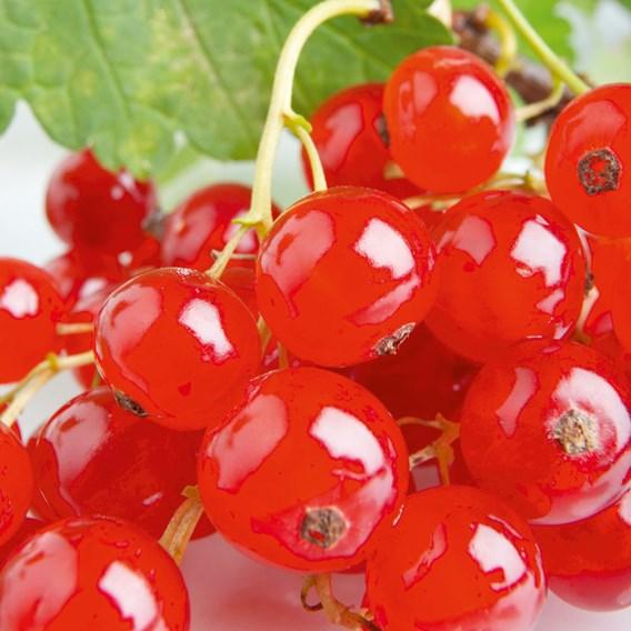 Redcurrant Plant Rovada