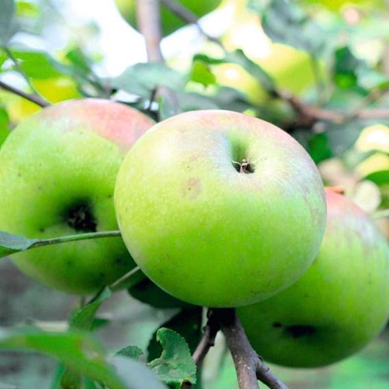 Apple Tree Cooking Apple Bramley