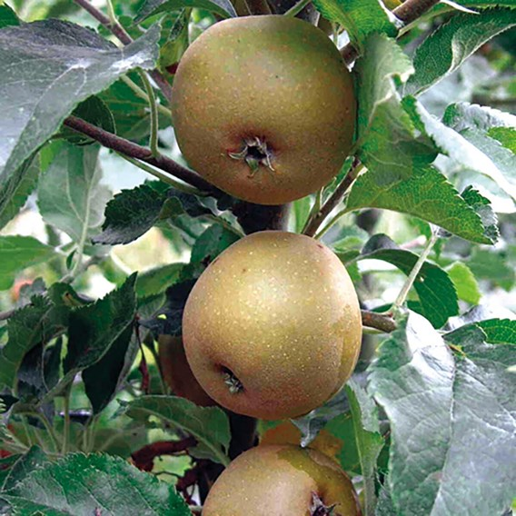 Apple Tree Egremont Russet
