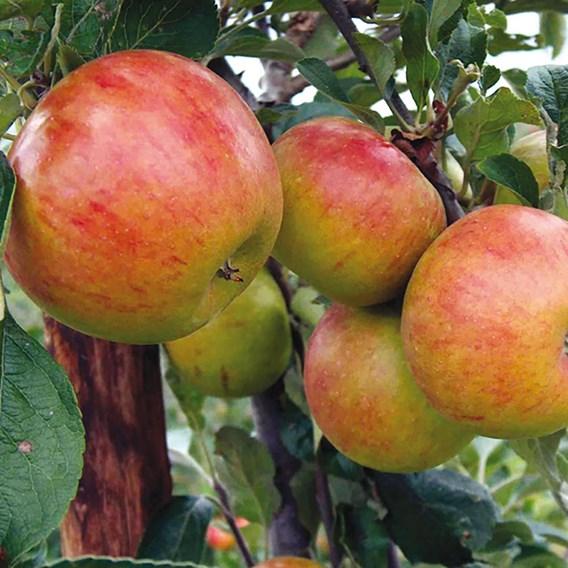 Apple Tree Pixie