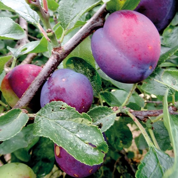 Plum Tree Herman