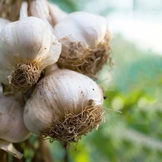 Garlic Bulbs - Cledor (Spring)