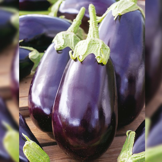 Aubergine Black Beauty 5 Plants - Organic