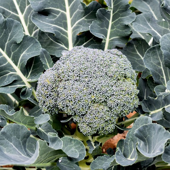 Calabrese Green Sprouting (10) Organic