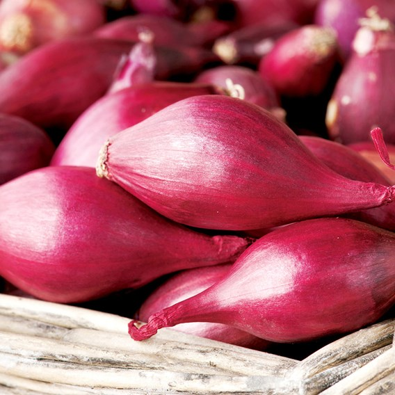Onion Red Baron 20 Plants - Organic