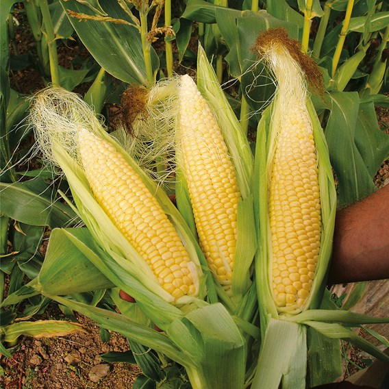 Sweet Corn Sweet Nugget (10) Organic