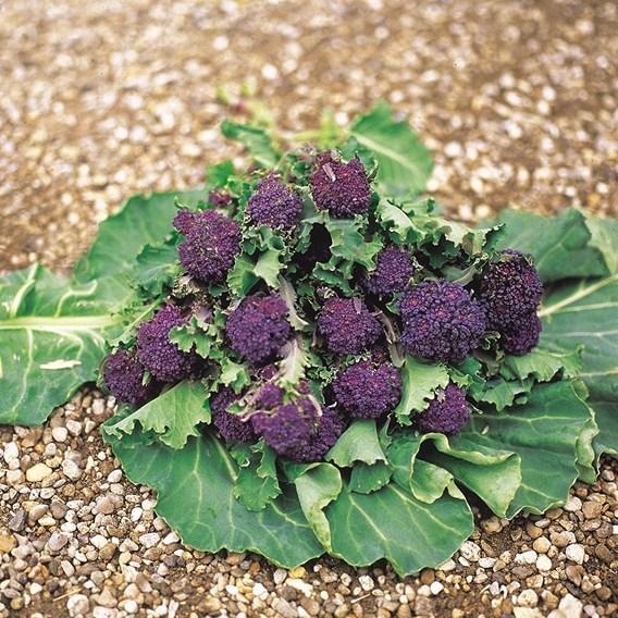 Broccoli Sprouting Summer Purple (10) Organic