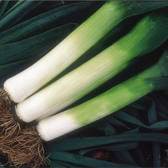 Leeks Giant Winter (20) Organic
