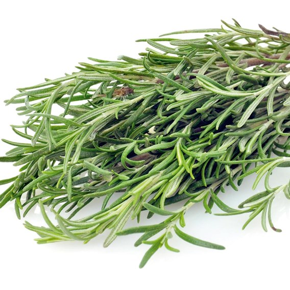 Rosemary Plants (3) P9's - Organic