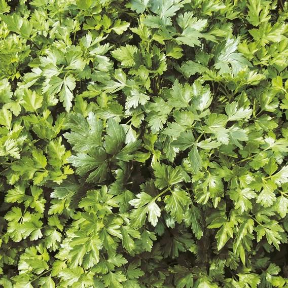 Parsley Flat Leaf (3) P9's- Organic