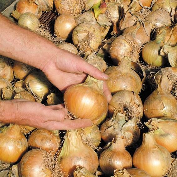 Onion Bedfordshire Champion (20) Organic