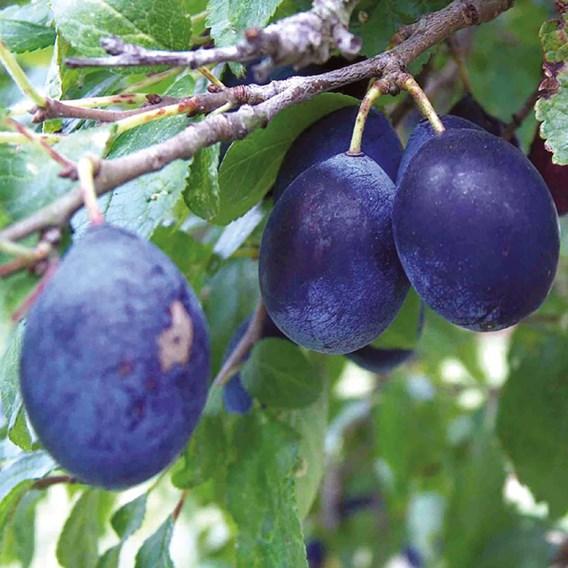 Damson Tree Merryweather Organic
