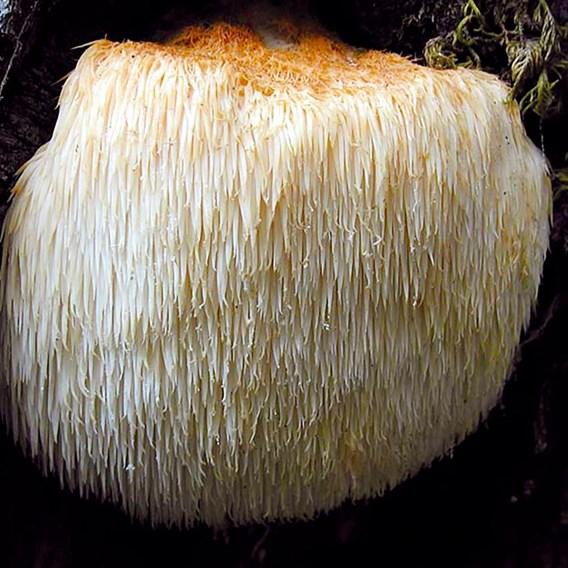 Mushroom Log - Hericium