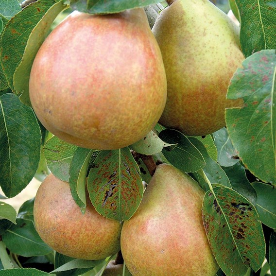Pear Tree Doyenne Du Comice Organic Quince A Rootstock