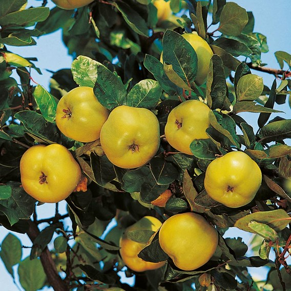 Quince Vranja Organic Quince A Rootstock 3.6-4.5m