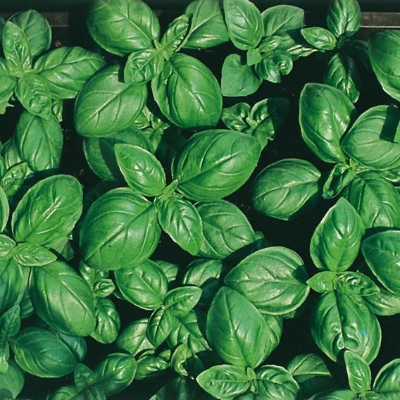 Spring Planting Basil British (3) Organic