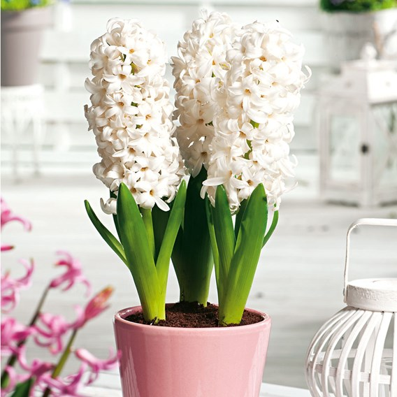 Hyacinth White Pearl(3)