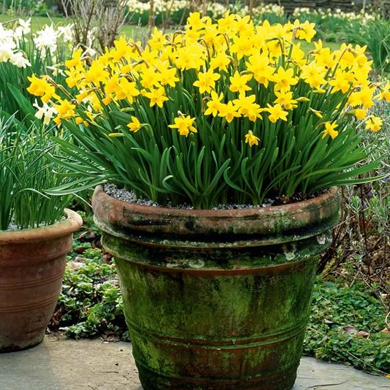 Narcissus Tete-a-Tete(5)